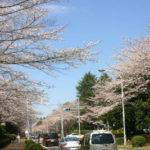菜の花と桜が咲き誇る「農林さくら通り」でお花見♪