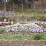 芝桜の筑波山♪