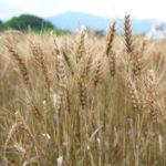 パン好きのパン好きによるパン好きのための小麦「ユメシホウ」