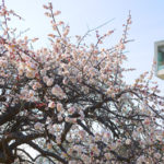 風情ある春!「松見公園のしだれ梅」