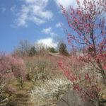 春の訪れ!筑波山梅まつり