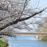 桜満開!福岡堰でお花見