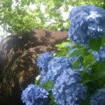 梅雨の楽しみ!筑波山の紫陽花