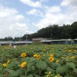 夏のお楽しみ♪ひまわり迷路&夏野菜収穫体験