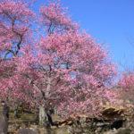 筑波山がピンクに染まる!「筑波山梅林」