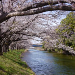 「福岡堰」の桜並木を堪能!