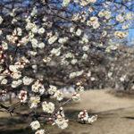 春の香り♪梅園公園