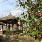 桜の名所「北条大池」の乙女椿