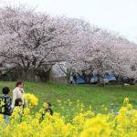 桜満開!つくばエリア屈指のお花見スポット「福岡堰」