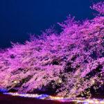 これぞ「科学のまちつくば」な桜。東光台研究団地で夜桜鑑賞♪