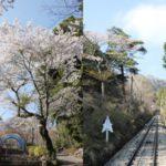 筑波山頂カタクリの花まつりに行って来ました♪
