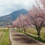 つくばの桜 りんりんロード