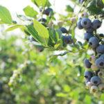 つくばで味わう夏の味覚!食卓を彩る新鮮ブルーベリー♪