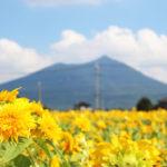 夏のデートにもおすすめ♪筑波山とひまわりのコラボレーション