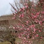 梅開花!新春の筑波山へ