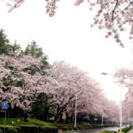 お花見シーズン到来!つくばの桜ビューポイント