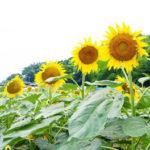 ひまわり迷路と夏野菜の収穫体験へ!-みずほの村市場-
