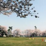 満開の桜に囲まれて「手代木公園」