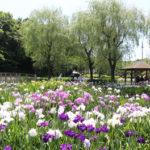 アヤメとハナショウブが咲き競う 守谷「四季の里公園」