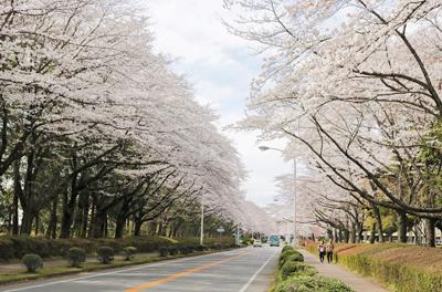 特派員おすすめ☆つくばが誇る最高の桜スポットへ