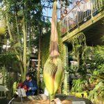 世界最大の「花」ショクダイオオコンニャクを見に筑波実験植物園へ!