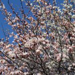 梅の香り漂う春の公園巡り