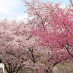 早咲きの桜スポットで春のウォーキング♪