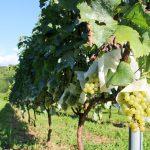 筑波山麓でこだわりのワインを造る「Bee's Knees Vineyards」