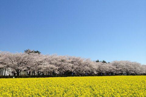 農林団地の桜と菜の花