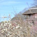 つくばの春の訪れを告げる「筑波山梅まつり」