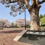 春満開の守谷・立沢公園へ