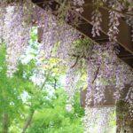 つくば5月の花めぐり~藤の花とクレマチス園~
