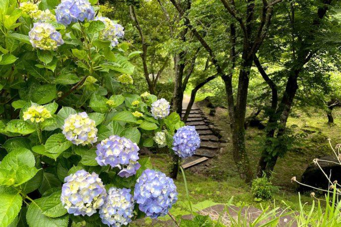 筑波山のアジサイ