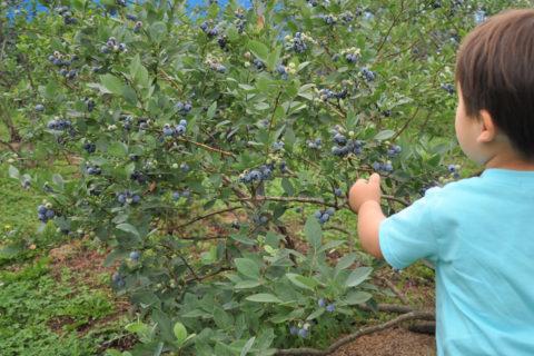ブルーベリーの木は背丈が低く、小さな子どもでも自分で簡単にとって食べられます