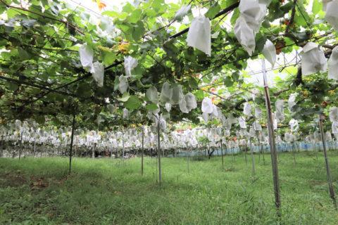 広いぶどう畑には、たくさんの白い袋がぶら下がっていました