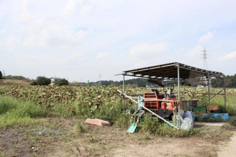 中村さんのレンコン畑